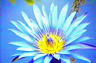 lotus-albastru