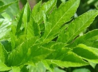 """""""Planta nemuririi"""" regenereaza sanatatea celulara! Se numeste """"ashitaba"""", iar proprietatile sale miraculoase au fost verificate de diferite studii stiintifice"""