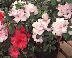 azaleea